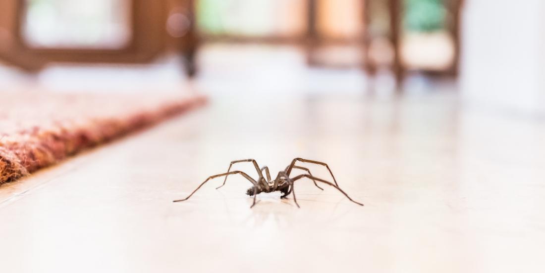 Un expert explique pourquoi nous ne devrions jamais tuer les araignées dans nos maisons
