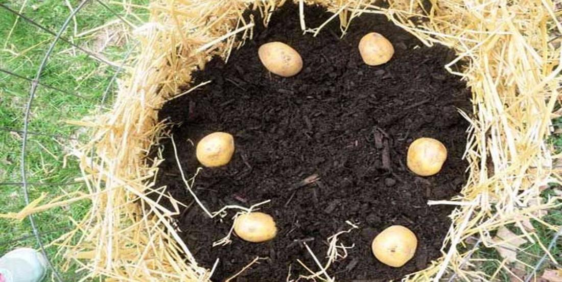 Comment faire pousser des pommes de terre pour toujours en avoir en réserve