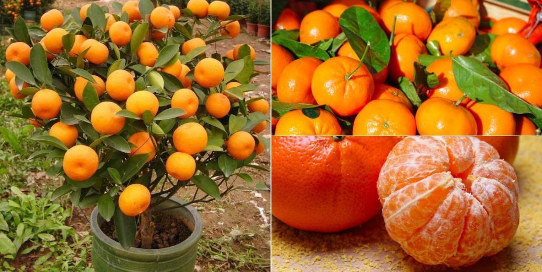 Tout ce qu'il faut savoir pour cultiver les mandarines à profusion et ne plus avoir à en acheter!