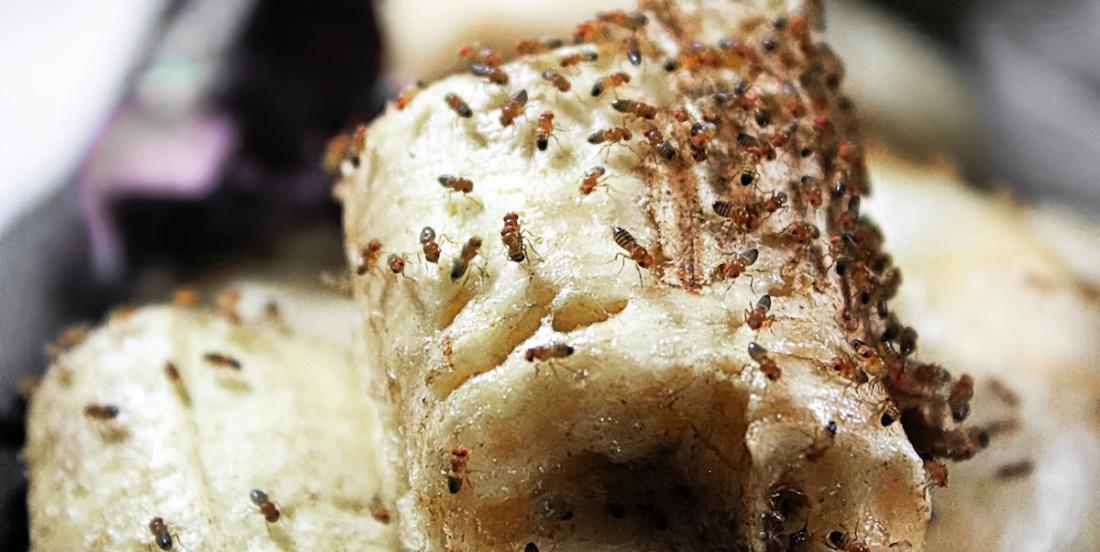 D'où viennent les mouches à fruits et comment s'en débarrasser?
