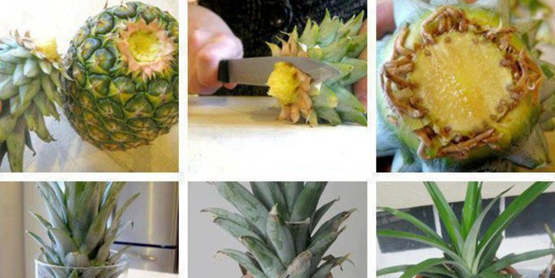 7 étapes faciles pour faire pousser un ananas à la maison!