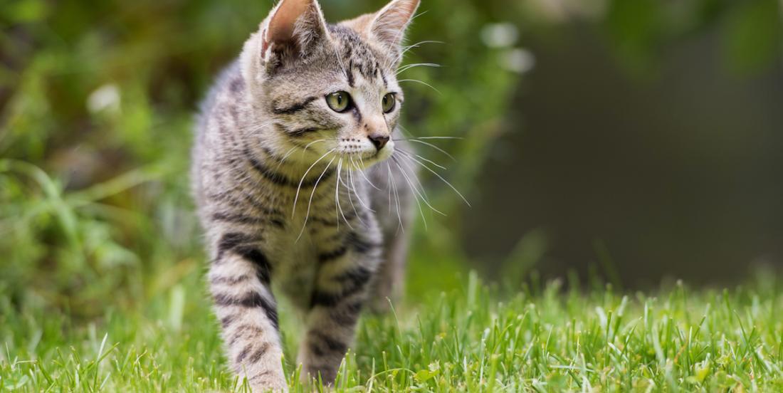 Conseil animalier: il vaut mieux empêcher votre chat de sortir de la maison