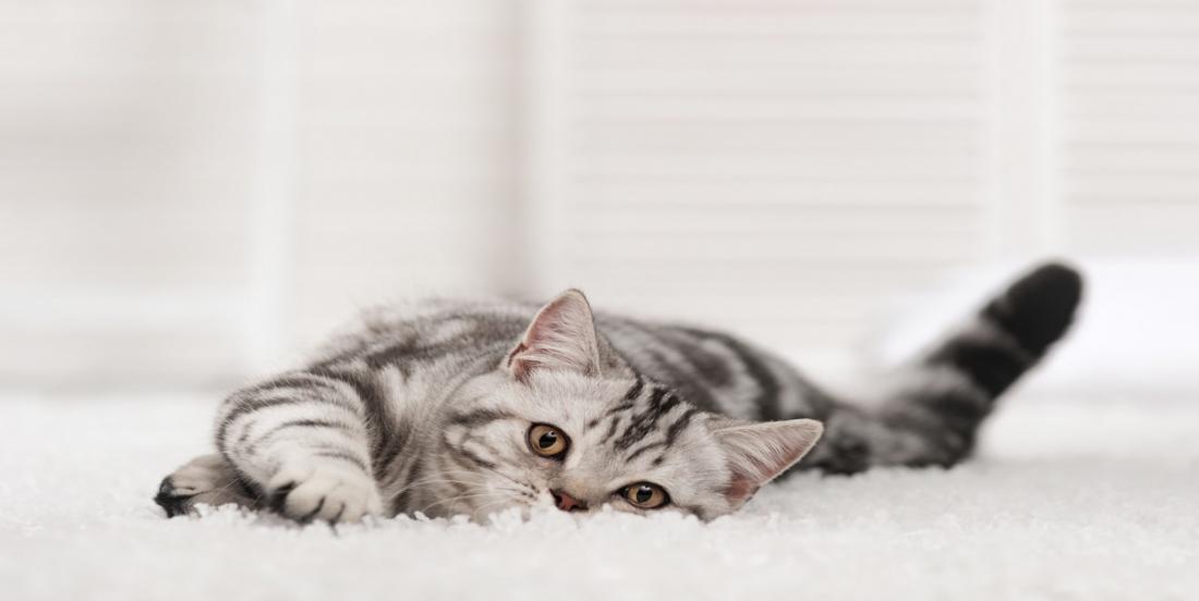 Une astuce de grand-mère qui permet d'éliminer l'odeur d'urine de chat imprégnée dans votre moquette