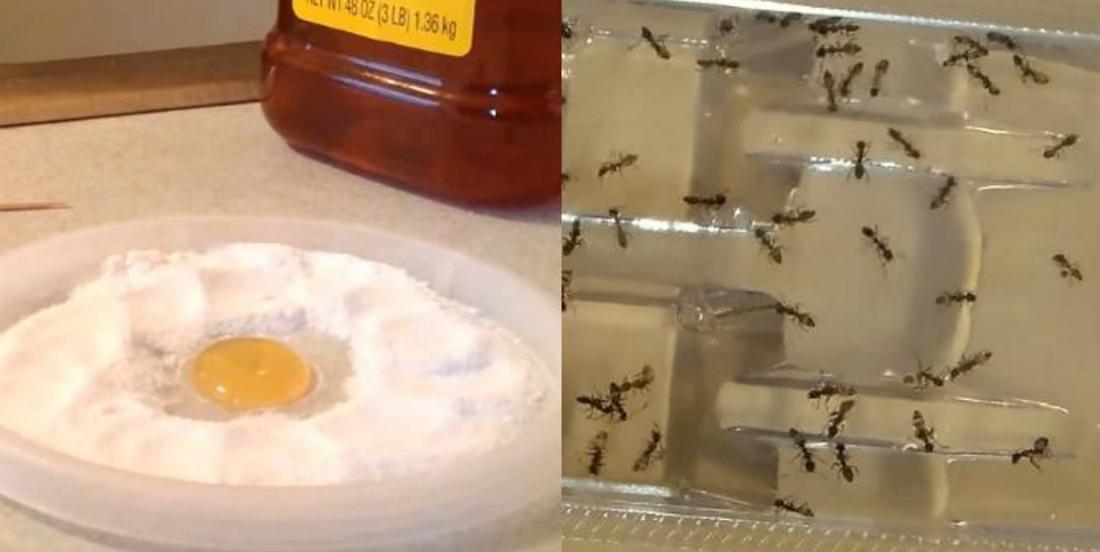 Plus jamais vous verrez une seule fourmi, une puce ou un cafard dans votre maison grâce à cet ingrédient puissant!