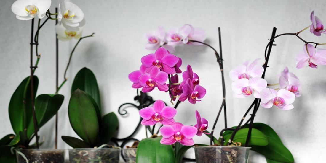 Afin de faire refleurir son orchidée, elle ajoute toujours des pelures de pomme dans le pot