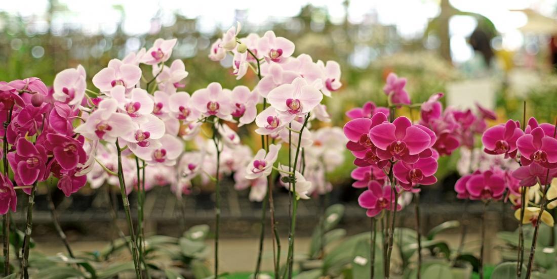 Les 5 règles de base pour bien prendre soin d'une orchidée