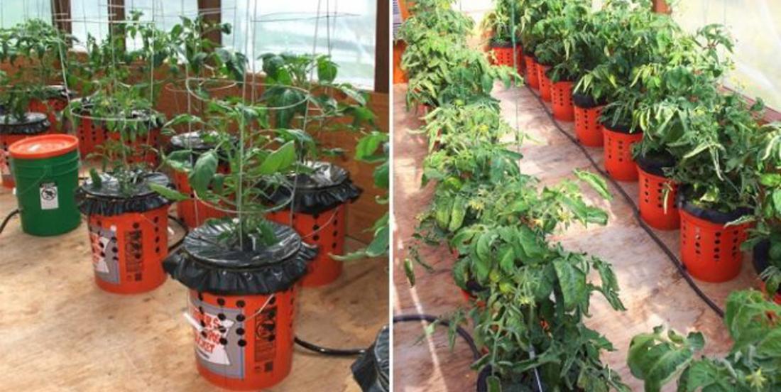 Comment faire pousser les plants de tomates en seaux