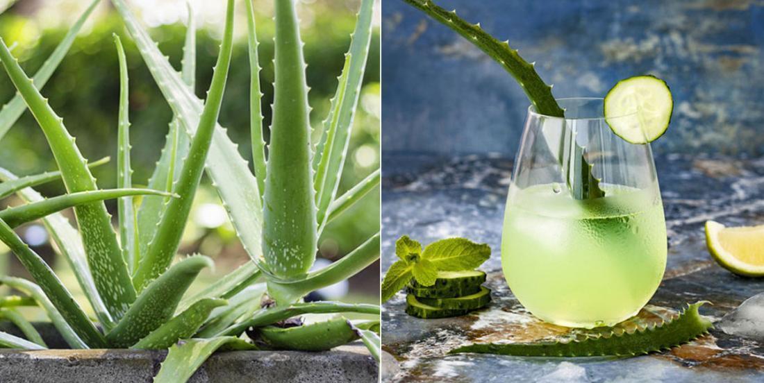 Les avantages de la plante d'Aloes Vera pour le corps humain et notre santé!