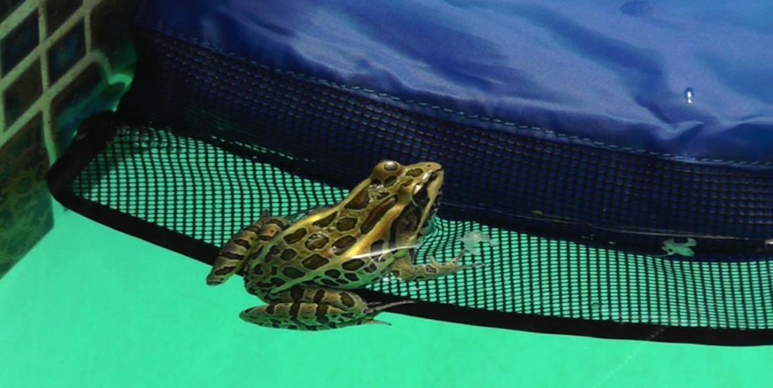 Un homme invente un système pour empêcher les petits animaux sauvages de se noyer dans les piscines