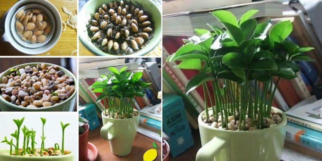 Ne jetez plus les graines de citron! Mettez-les en terre afin d'obtenir une plante qui sent divinement bon!